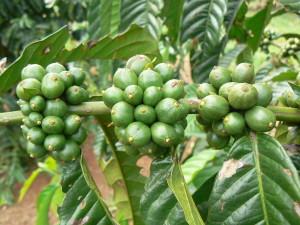 Kávovník se zelenými zrny