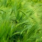 Zelený ječmen na hubnutí