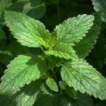 Účinné bylinky na hubnutí